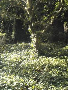 PCA 315 Blair ivy-smothered oak tree in Blair Park
